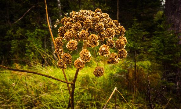 Angelica medicinal.