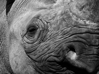 Poster de jardin Rhino a monochrome close up of the face of a black rhinoceros with eye nose and horn