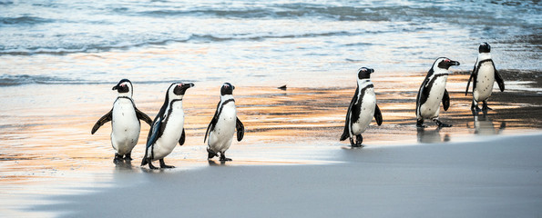 Fototapeten Pinguin African penguins walk out of the ocean to the sandy beach. African penguin also known as the jackass penguin, black-footed penguin. Scientific name: Spheniscus demersus. Boulders colony. South Africa