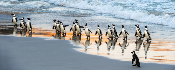 Foto op Canvas Pinguin African penguins walk out of the ocean to the sandy beach. African penguin also known as the jackass penguin, black-footed penguin. Scientific name: Spheniscus demersus. Boulders colony. South Africa