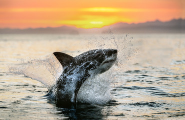 jumping Great White Shark. Red sky of sunrise. Great White Shark breaching in attack. Scientific name: Carcharodon carcharias. South Africa.
