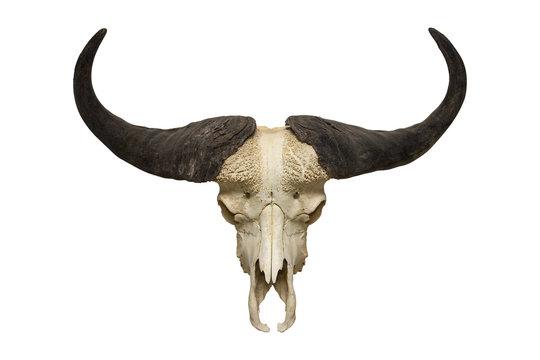buffalo skull on the white background