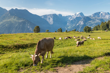 herd of cows grazing on alpine meadow in Swiss Alps