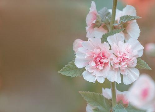Stockrose (  Alcea rosea ) - natürlicher Hintergrund mit viel Platz für Text