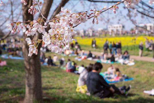 Japanese people having picnic and cherry blossoms 花見をする人々 幸手権現堂桜堤(埼玉県)