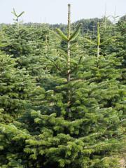 Weihnachtsbaum - Nordmanntannen in einer Tannenschonung