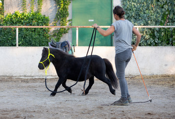 miniature horse with halter