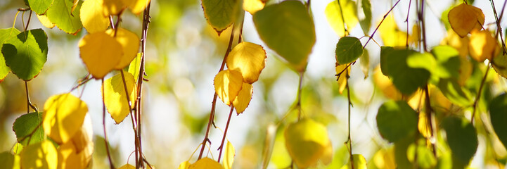 Golden and green birch tree leaves on the branches in autumn garden, sunny day, selective focus, natural background.