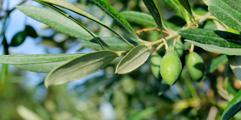 Deurstickers Olijfboom green olives growing in mediterranean olive tree