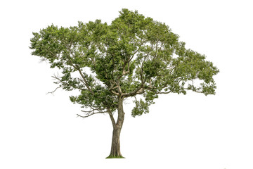 Isolated of tree on white background. Wall mural