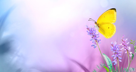 Wall Mural - Yellow butterfly close-up macro on wild meadow purple flowers in spring summer on a beautiful soft blurred blue pink violet background. Gentle artistic image of nature, copy space.