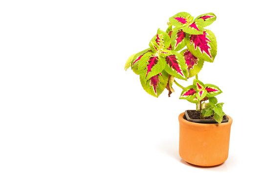 Coleus plant in ceramic pot isolated on white