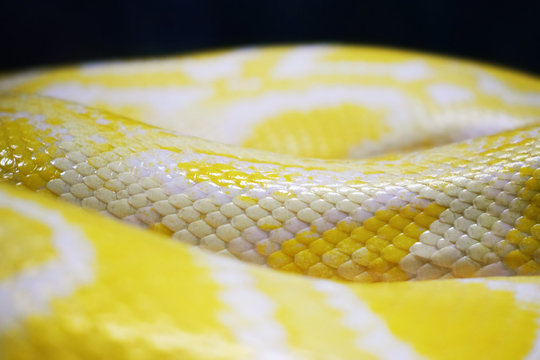 The skin of a lively yellow snake with white stripes.