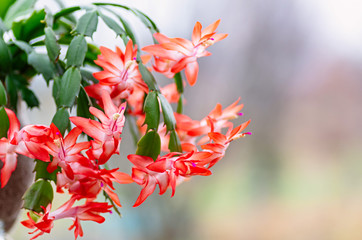 Blooming houseplant Christmas cactus Schlumbergera. Close up.