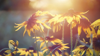 Photo for the background with a group of yellow flowers of Rudbeckia through which the evening sunlight penetrates..