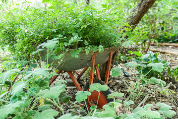 Old wheelbarrow reused in a herb garden.