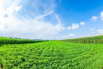 The fields of peanuts Fotoväggar