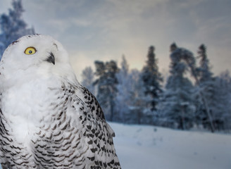 Fotoväggar - polar owl near snow winter forest