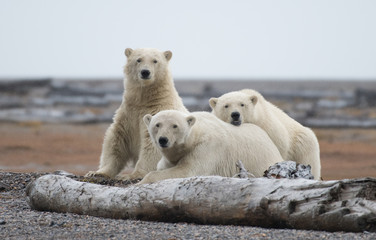 Deurstickers Ijsbeer Polar bear in Alaska, USA