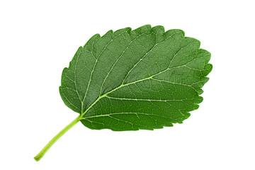 Mulberry leaf closeup