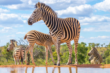 A zebra (Equus quagga) drinking at a waterhole, Welgevonden Game Reserve, South Africa