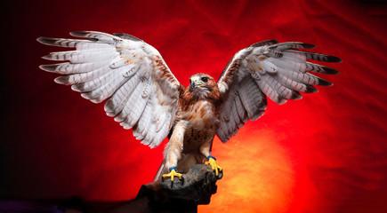 Birds of Prey - Red Tailed Buzzard / Hawk Fototapete