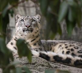 In de dag Luipaard Snow leopard looking for food