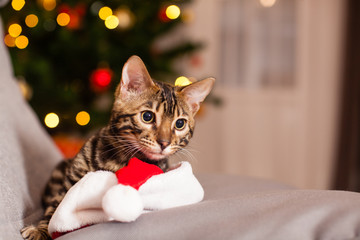 Bengal cat in Santa hat sitting at chair, Christmas eve