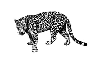 Leopard standing graphics hatching vector