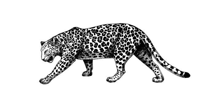 Leopard walking graphics hatching vector