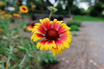 Beautiful Gaillardia blooming in garden with bokeh background