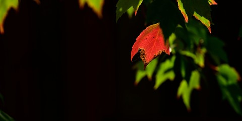 Back lighting highlights red and green maple leaves.