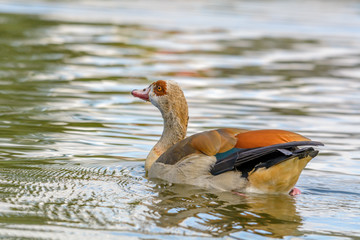 Eine Nilgans schwimmt im Wasser