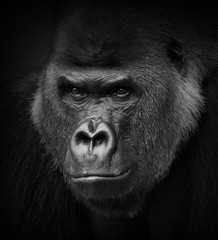 Foto op Aluminium Aap Gorilla portrait in black and white. Closeup of a dangerous-looking silverback.