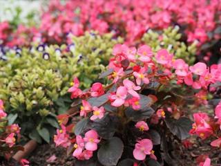 ピンク色のベゴニアの花