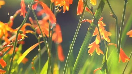 Fotoväggar - Crocosmia flowers blooming in a garden close-up. Crocosmia (montbretia) yellow and orange vivid small flowers. Beautiful bright flower. Sun flares. 4K UHD video, slow motion
