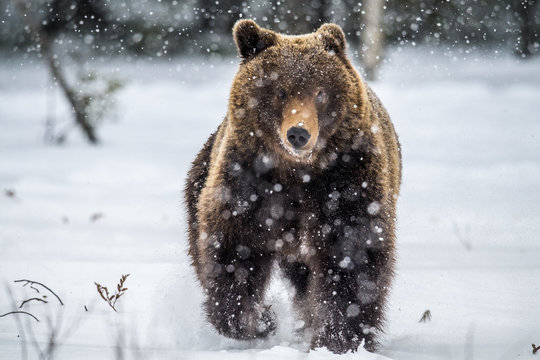 Brown bear running on the snow in the winter forest. Front view. Snowfall. Scientific name:  Ursus arctos. Natural habitat. Winter season.