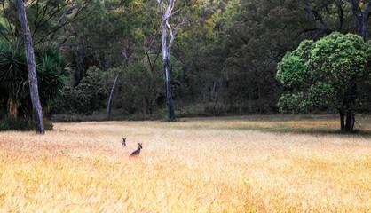 Kangaroos hiding in golden grass