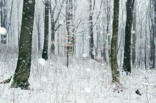 Snow flakes falling in winter wonderland woods