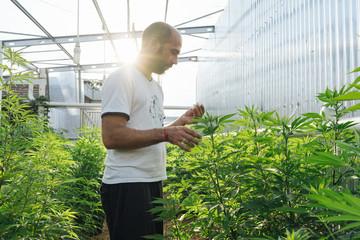 Cannabis Farmer In His Greenhouse.