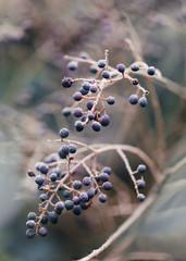 Covered in rime ligustrum berries on leafless shrub