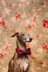 Dog with bow tie