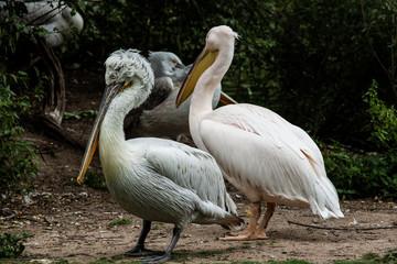 Die Pelikane sind eine Familie und Gattung von Wasservögeln
