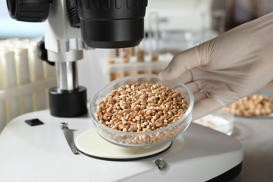 Scientist examining wheat grains with microscope in laboratory, closeup