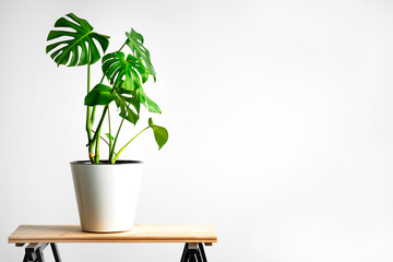Foto auf AluDibond Pflanzen Beautiful monstera flower in a white pot stands on a wooden table on a white background. The concept of minimalism. Hipster scandinavian style room interior. Empty white wall and copy space.