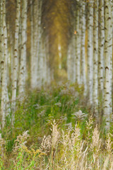 Wall Murals Forest Beautiful autumn birch forest with grass and fallen yellow autumn leaves in Europe, Latvia.