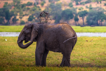 Elephant splashing mud with his trunk in Chobe National Park, Botswana