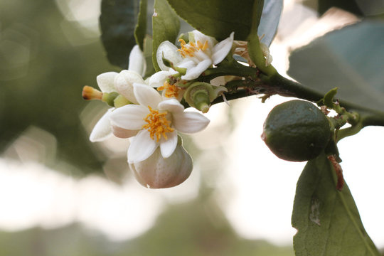 Lime and lime flower is sour fruit of Thailand.