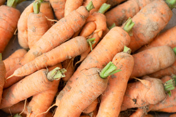 Photo food vegetable carrot. Texture background of fresh large orange carrots. Vegetable Root Carrot