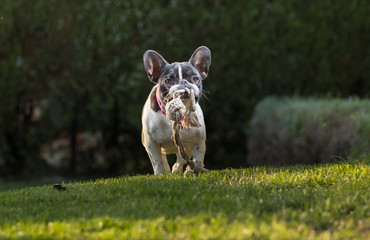 Portrait picture of a French Bulldog puppy who is running in the yard on the grass.dng
